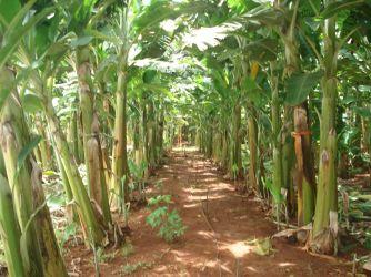 Plantio de Banana da Thelo