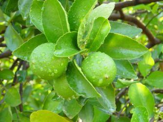 Lim�o